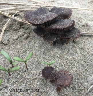 Beach Mushrooms by Janet Crosby