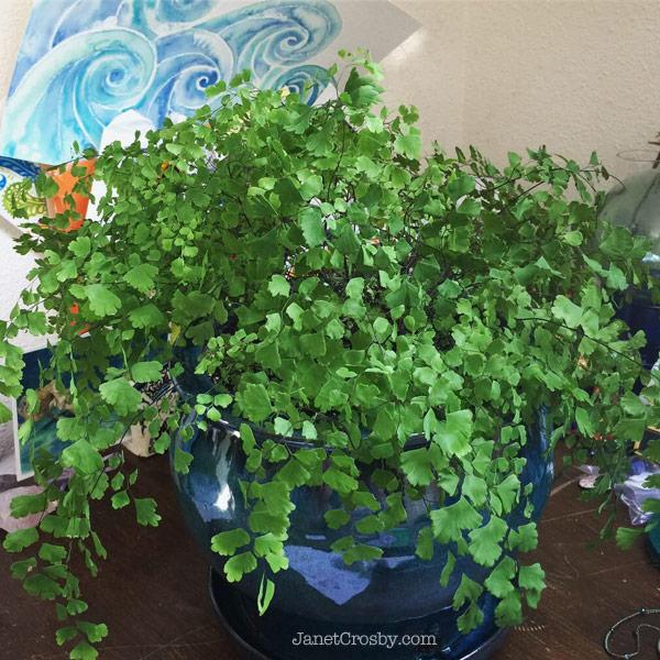 Recovering Maidenhair fern