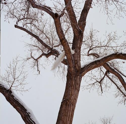 77330008 copy:white peacock:tree copy