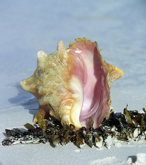 conch in seaweed