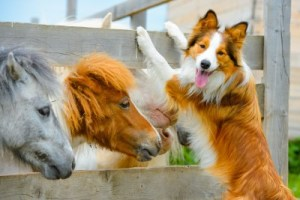 A collie dog climbing next to a small horse