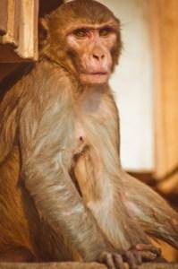 a Reses monkey