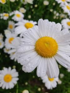 a field of white daisies