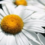a close up of a white daisy