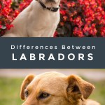 Across the Pond: 5 Key Differences Between English and American Labradors