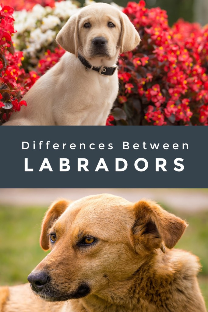 American English Labradors Differences