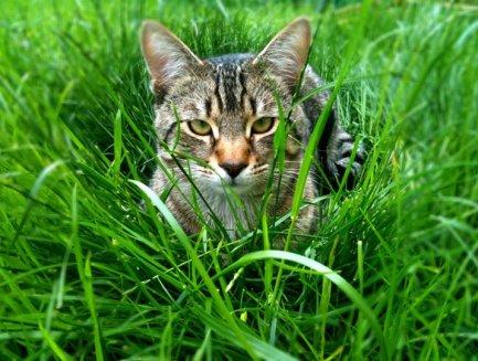 foxy tiger2