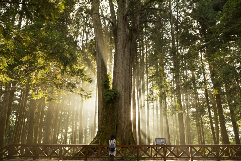 Giant tree Alishan Taiwan