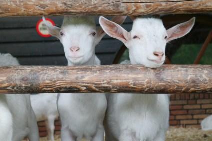 Geitenboerderij Ridammerhoeve Amsterdam