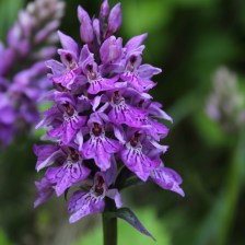 natuur_fotografie_foto_natuurfotografie_wilde_orchidee