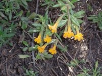 Mimulus in Henry Cowell state park