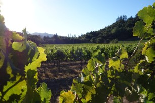 Napa_Valley_vineyard.2048
