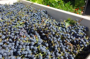 cabernet_grapes_ready_for_crush.2048