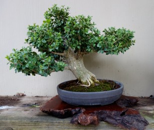 boxwood_bonsai