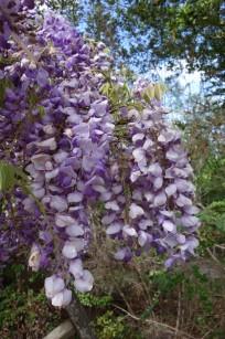 Cooke's_purple_wisteria.1600