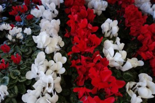 cyclamen_red_white.2048