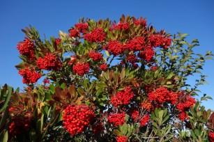 toyon-berries