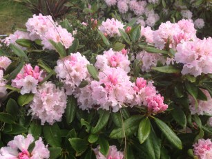 rhodie_pink_early.1600