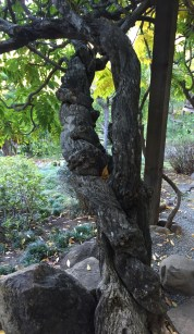 wisteria_trunk