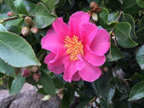 camellia-sasanqua