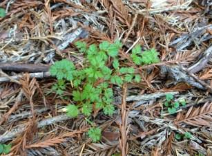hedge_parsley_weed