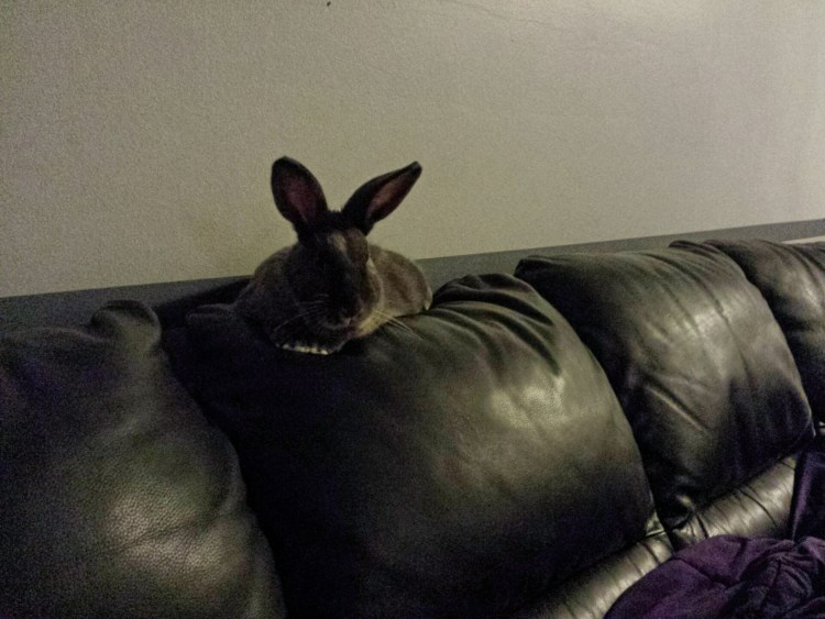 A big gray rabbit perches comfortably on the back of a squishy black leather couch, much like a cat