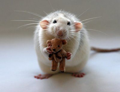 Cute rat with teddy