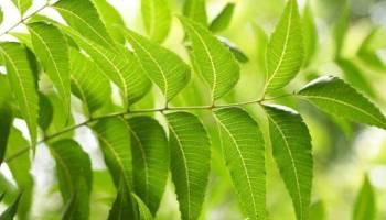 Neem, diabetes, neem health benefits