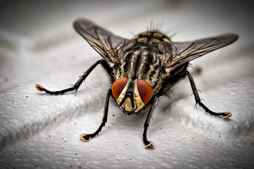 macro photo of black fly