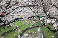 Une pause sous les cerisiers de Kawagoe