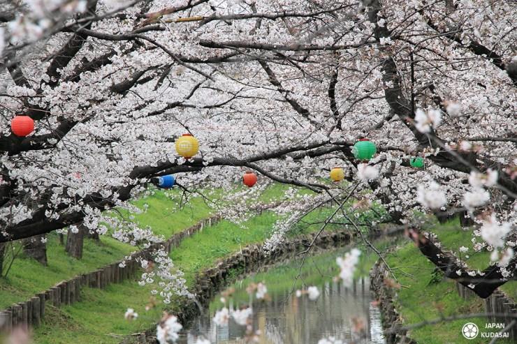 rivière shingashi cerisiers blancs kawagoe