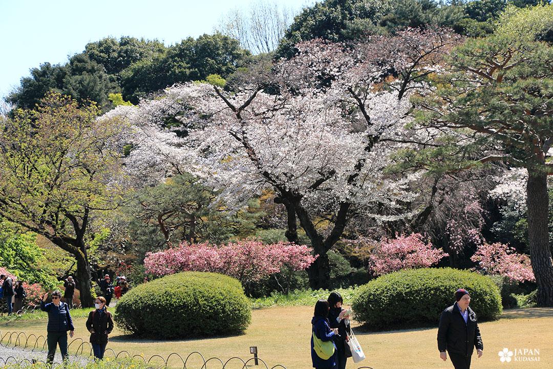cerisiers du parc shinjuku gyoen avec promeneurs