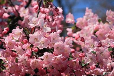pétales rose sakura