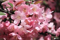 Les cerisiers du parc Shinjuku gyoen