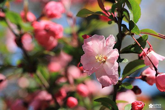 cerisiers du parc shinjuku gyoen zoom