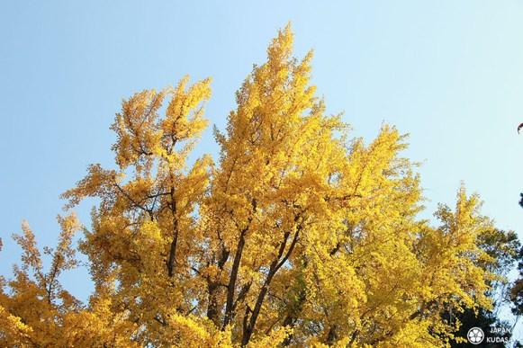 arbre gingko japon automne écu d'or