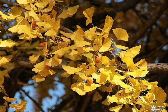 feuille jaune gingko biloba japon