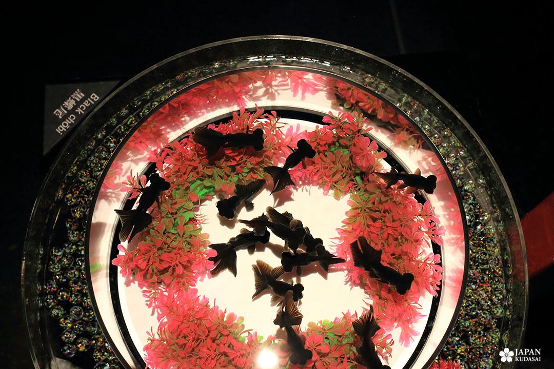 poisson noir joue globuleuse black chobi