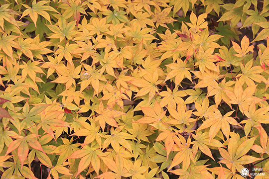 feuilles jaunes automne japonais