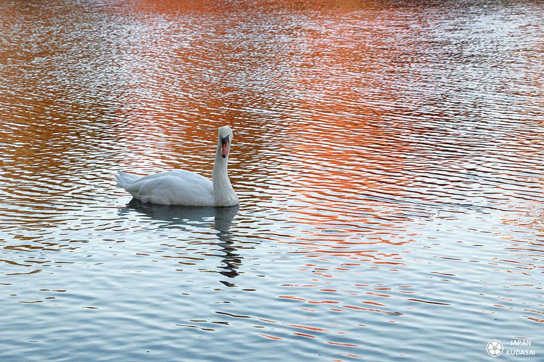 cygne sur un lac