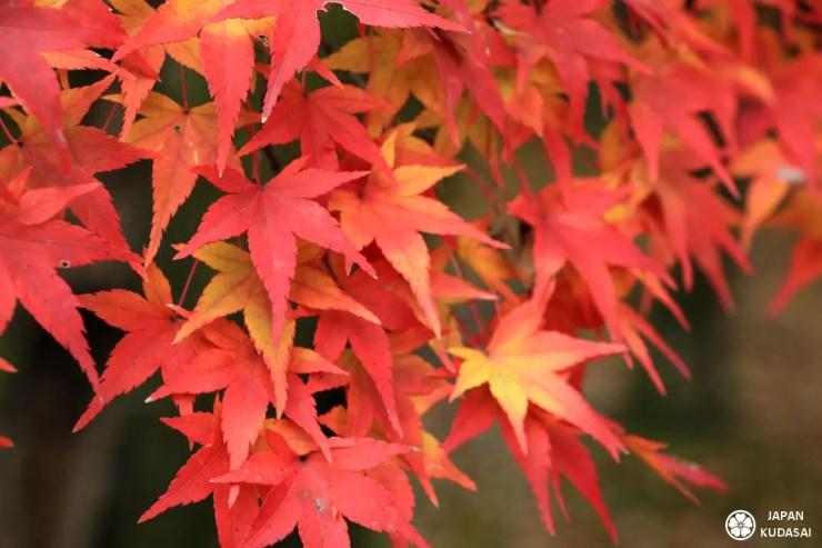 Les feuilles d'automne et surtout celles de momiji sont magnifiques lors d'un voyage au Japon à l'automne