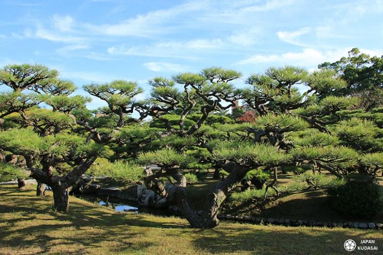 Pin noir japonais du jardin Ritsurin de Takamatsu