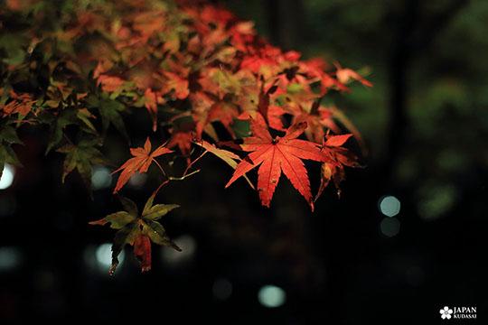 zoom érable feuille rouge de nuit