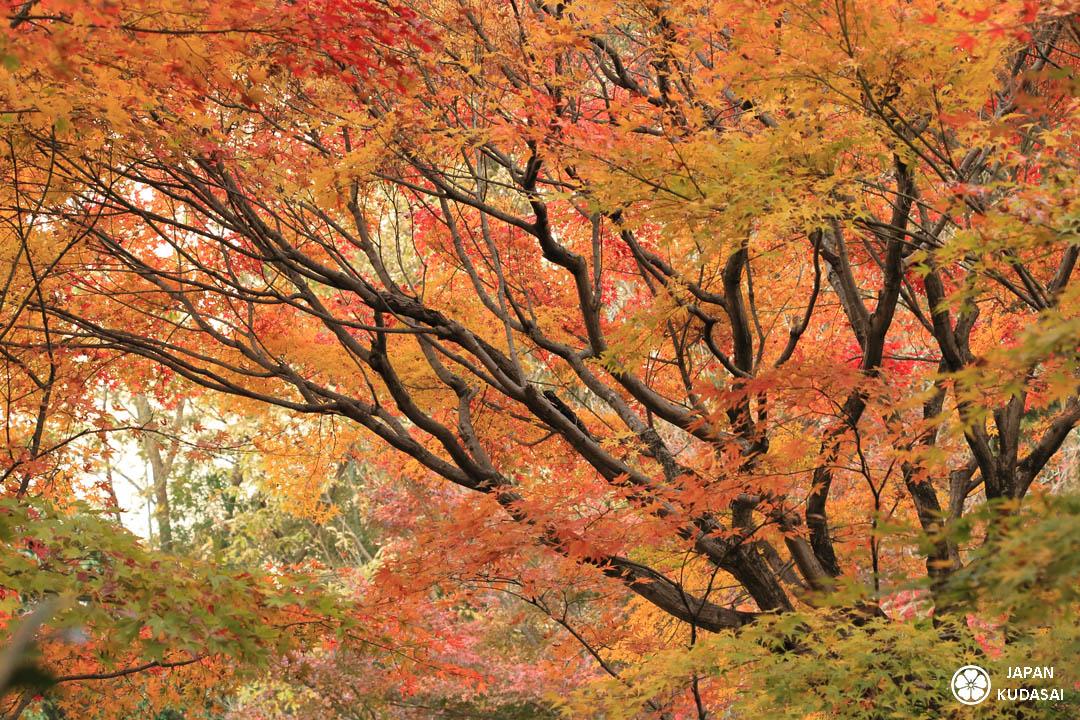 Automne au Japon, une beauté incroyable des feuilles d'érables et de momijis.