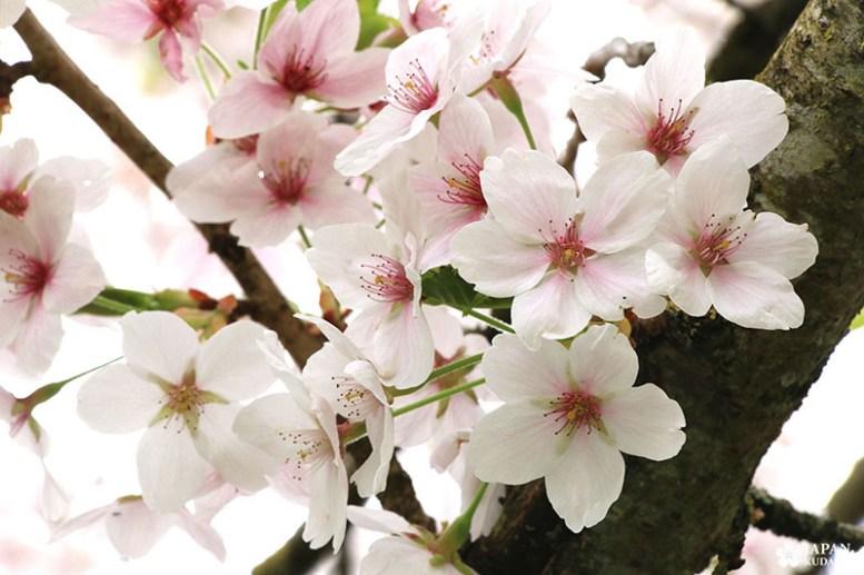 sakura-dijon-jardin-japonais (10)