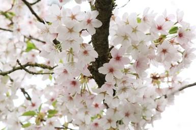sakura-dijon-jardin-japonais (12)