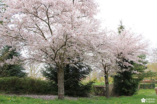 sakura-dijon-jardin-japonais (14)