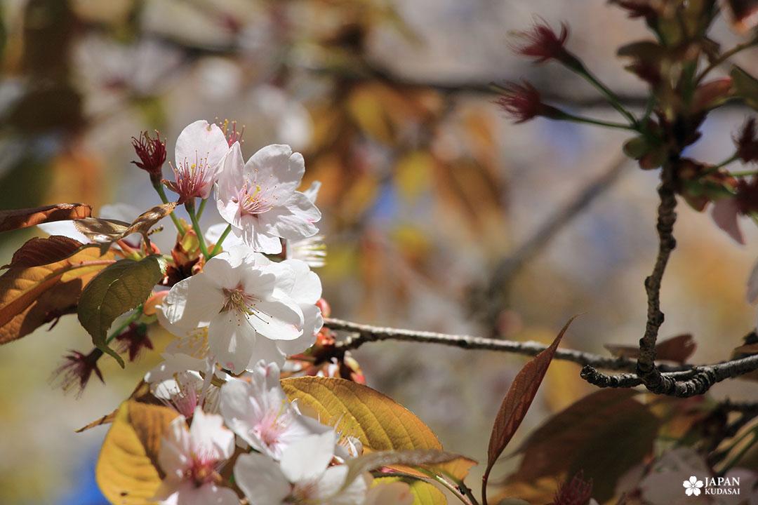 cerisier japonais sauvage