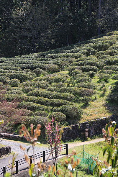 champs de thé à wakayama