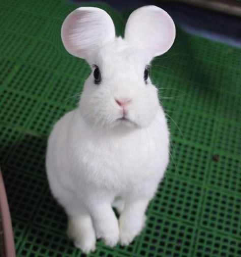 rabbit_mouse_ears 1